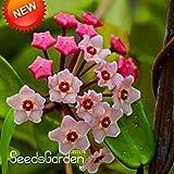 Best-Selling! Semi verdi Hoya, Seed in vaso, Hoya Carnosa seme di fiore le piante da giardino fai da te giardino domestiche di 100 particelle / Pack, # DJLXIE