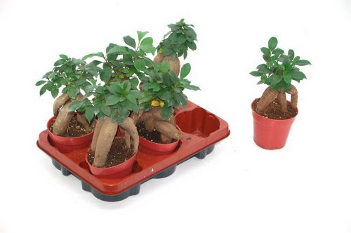 Lorbeer-Feige, Ficus mic. Ginseng, 8cm Topf, 1 Pflanze