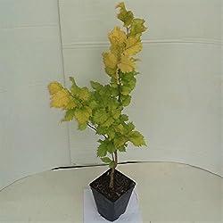 Grüner Garten Shop Goldulme Ulmus carpinifolia Wredei Ulme 80-100 im Topf