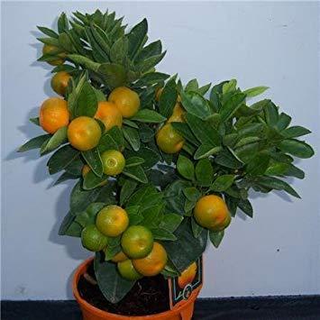 Shop Meeko Kreuz Gemeinsame Nursery Citrus Orange 'Calamondin' Bush