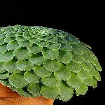 FERRY Keim Seeds: 15 Samen von Aeonium tabuliforme großen Tellers