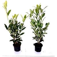 20 Kirschlorbeer Pflanzen, Prunus laurocerasus Caucasica, Höhe: 50-60 cm ab Topf