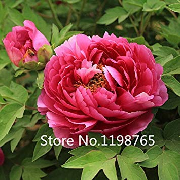 GEOPONICS Pink: 2016 New Arrl China National Flower Peony Sämling Samen, Rosa, Rot und Farbe, 10 Samen/Pack, Licht Duftende Garten F