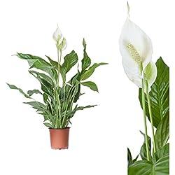 Spathiphyllum / Friedenslilie - 50 cm +/- Scheidenblatt, Blattfahne, Einblatt, tropische zimmerpflanze, Aronstabgewächse (Araceae), raumluftreinigend, dekorativ, edel, effektiver Frischluftfilter