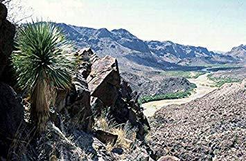 SANHOC Samen-Paket: Yucca Palm -Yucca rostrata - 10 Samen - Winter HardySEED