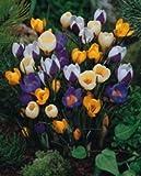 Espèce Crocus mélangé bulbes de fleurs 100x 100