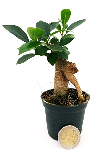 ficus ginseng mini ideale per terrarium, pianta vera