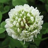 500pcs olandese bianco trifoglio erba semi giardino di casa fai da te copertura del suolo erba semi di fiori