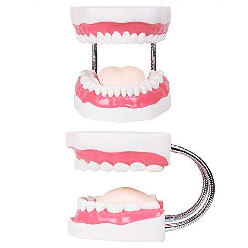 Preisvergleich Produktbild VIDOO Dental-Modelle Unterrichten Kinder Zähne Bürsten Spielzeug Zähne Zahnärztliche Präsentationen Strukturen