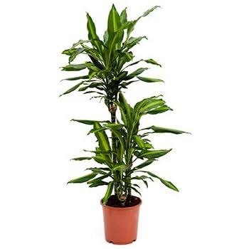 Drachenbaum dracaena janet craig ca 100 cm for Drachenbaum zimmerpflanze