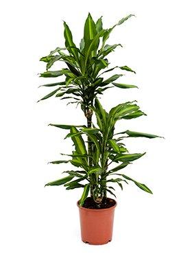 Drachenbaum, Dracaena cintho, ca. 120 cm, große Zimmerpflanze, 21 cm Topf