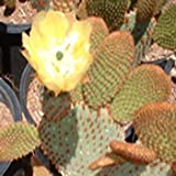 10 Semi di cannella Cactus SF147 (Opuntia Microdasys Var. Rufidia)