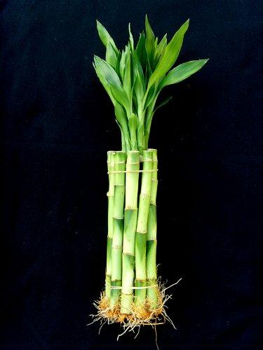 JM Bambou 10 tiges de 20,3 cm Straight Lucky Bamboo pour cadeaux ou FENGSHUI