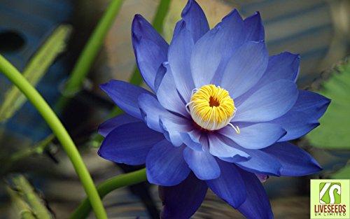 liveseeds-bonsai-lotus-lotus-pond-bowl-fleur-nenuphar-frais-lotus-bleu-5-graines