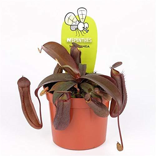 Kannenpflanze  <strong>Hinweise</strong>   Gewicht kann je nach Feuchtegrad der Pflanze variieren, Gießen Sie wenn möglich nur mit kalkfreiem Wasser.