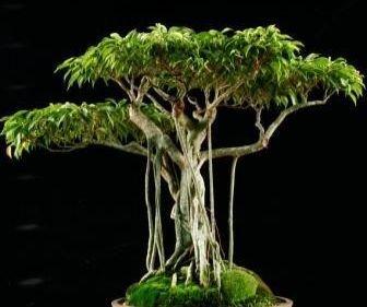 weeping-chinese-banyan-tree-20-seeds-ficus-benjamina-bonsai-or-house-plant-by-hirts-gardens