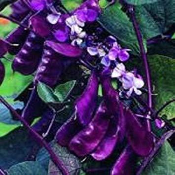 PLAT FIRM 25 Samen Hyacinth Bean Lila Bohne Samen Lablab Samen (Samen Bohne Lila)