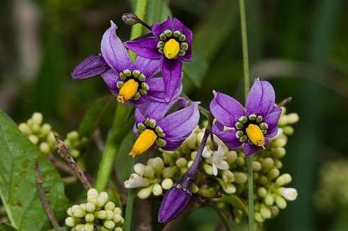 Asklepios-seeds® - Solanum dulcamara, Bittersüßer Nachtschatten, 1000 Samen