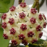 Semi Hoya, Seme in vaso, Hoya Carnosa seme di fiore piante da giardino, Piantare perenne - 20 Semi piante d'appartamento