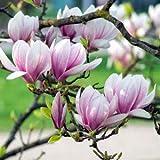 Qulista Samenhaus - Rarität 10pcs Duftend Magnolie Baumsamen 2 x im Jahr blühend Blumensamen winterhart mehrjärhig für Garten, Terrasse und Balkon