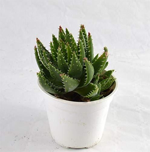Pianta Grassa Aloe Ferox, Vaso 10cm