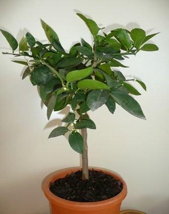 citronnier-citron-vert-arbre-agrume-sur-tige