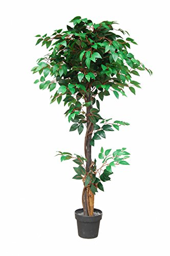 PASAMO 06767 Ficus Benjamin Birkenfeige, Echtholzstamm, Kunstpflanze 180cm
