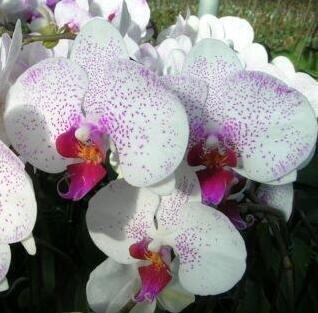 Blumensamen für zu Hause Garten Phalaenopsisorchidee Samen kaufen-direct-from-china orquidea semente 30PCS Orchidee-Samen F96