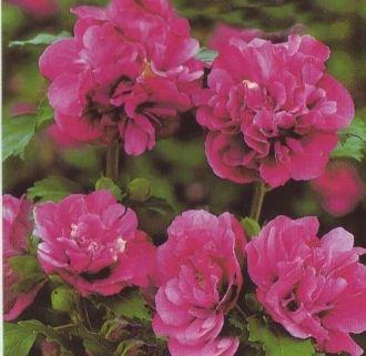 Hibiskus / Garteneibisch 'Duc de Brabant' - Hibiscus syriacus 'Duc de Brabant' 60-100 cm, von Gartengruen24 bei Du und dein Garten