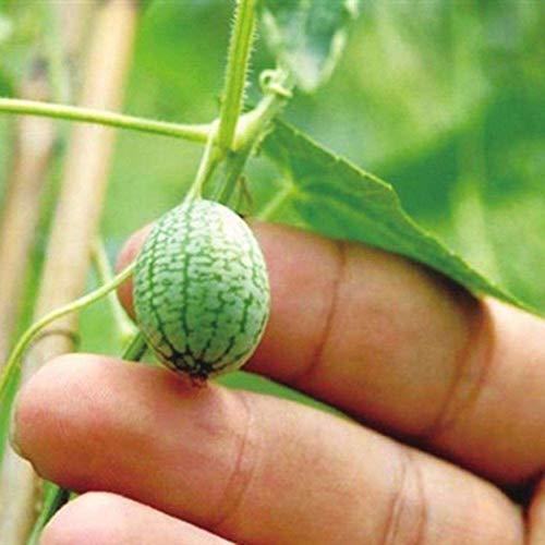 Vobome 10 Mehrjährige Bonsai Daumen Wassermelone Samen Sukkulenten Obst Pflanzen Samen Blumensamen
