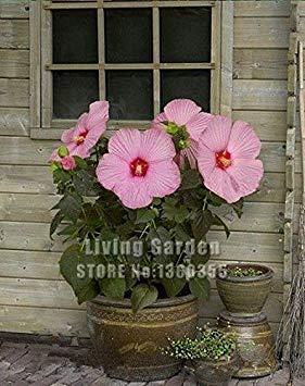 100 Riesen-Hibiskus-Blumensamen, Mischungs-Farbe, DIY Hausgarten vergossen oder Hof Blume Pflanze,