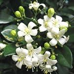 Murraya exotica (Orange Jasmine) - 20 semi
