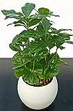 PIANTA DEL CAFFE, COFFEA ARABICA, in vaso ceramica, pianta vera