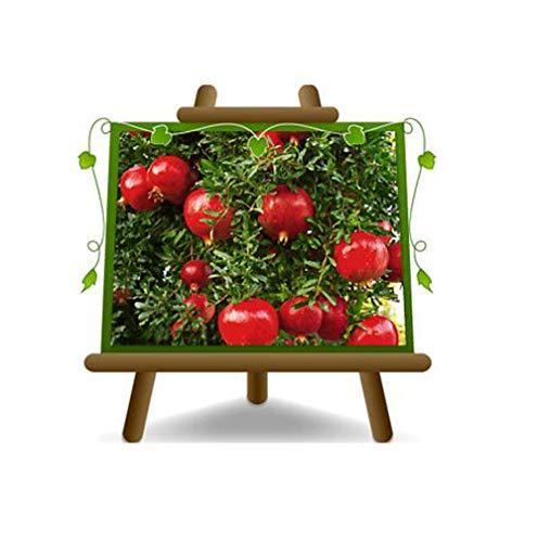 Melograno Wonderful – Pianta da frutto su vaso da 26 - albero max 200 cm - 4 anni