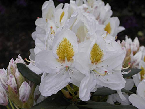 Rhododendron Hybride 'Madame Masson' - Im 5 lt. Topf, Höhe ca. 30-40cm