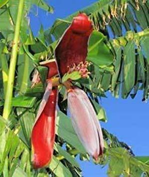vegherb Banana - Musa Paradisiaca 10 Samen