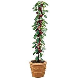 PLAT FIRM KEIM SEEDS: Cherry Tree Seeds - SYLVIA - Miniatur-Obstbaum - PRUNUS - ohne Gentechnik - 10 Samen