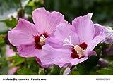 3 Stück Hibiscus syriacus 'Pink Giant' - (Hibiskus - Garteneibisch 'Pink Giant')- Topfware 15-25 cm