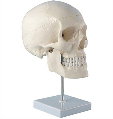 Cranstein E-246 Schädel auf Stativ, 4-teilig