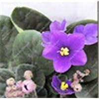 IDEA HIGH Seeds-100 Pcs/bolsa Color de mezcla popular Disponible Bonsai violeta para ver Flor Perfumada por la tarde Stock Violet Diy Planta de jardín en casa: 3