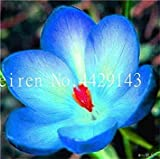 Vente 200 pièces Safran Fleur Végétaux, Safran Bulbes, Bonsai Fleur Iran Crocus pour Plantes en Pot Jardin Décoration Bonsai: 16...