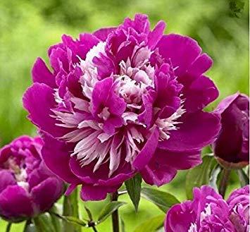 10pcs / sac de graines de pivoine, jaune, graines de fleurs de pivoine rose chinoise belles graines de bonsaï plantes en pot pour le jardin de la maison 1