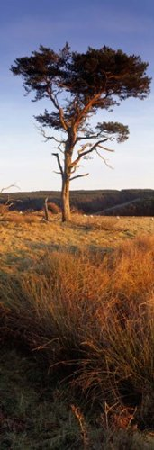 panoramic-images-tree-on-a-landscape-golden-hour-helwath-plantation-scarborough-north-yorkshire-engl