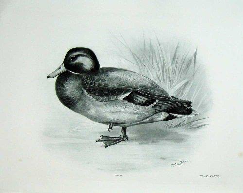 1906-mallard-o-maschio-adulto-di-boscas-di-anas-dellanatra-selvatica