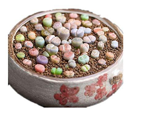 KINGDUO 100Pcs Graine Lithops Pseudotruncatella Plante Semences Rare Pot De Pierre Succulentes Mélange