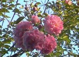 apuldram-roses-dorothy-perkins-rambling-rose-potted