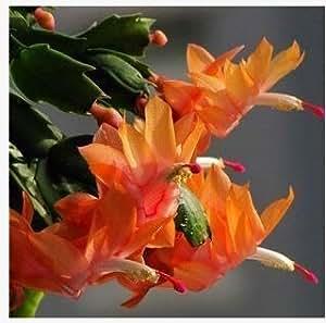 Zygocactus truncatus Semi Schlumbergera, piante in vaso, piante verdi interni - 20 semi Semi