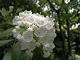Shoopy Star 1pc: Lily TROGON ampoule de floraison Lily tubercule Lilium rhizome, pas Lilium EED