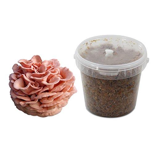 Rosenseitling-Substratbrut Pilzbrut, Pilze selber züchten, Pilzzucht