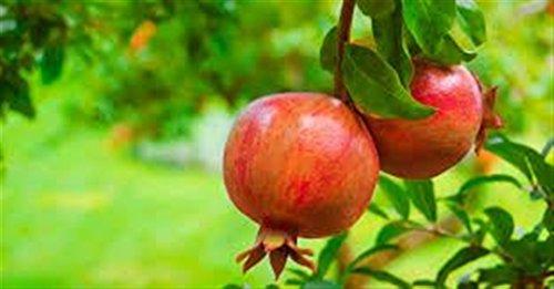 ALBERO DI MELOGRANO DI GRANADA- pianta vera da frutto da esterno